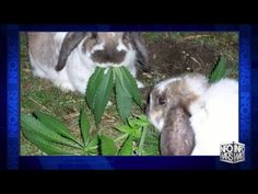DEA Ready To Raid Utah Homes For Stoned Bunnies