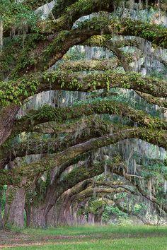 Spanish Moss Draped Live Oaks - Charleston, South Carolina