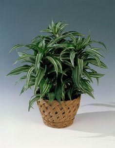 Dragon Tree Care - Every plant needs special treatment. What does the dragon tree need? Little Plants, All Plants, Green Plants, Indoor Plants, House Plants, Dracaena Marginata, Dragon Tree Care, Air Filtering Plants, Exotic