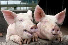 Michelle Obama's Rejected 'Let's Move' School Lunches Feeding Pigs In Rhode Island Sustainable Farming, Urban Farming, Michelle Obama, Rhode Island, Future Farms, Funny Pigs, Pig Farming, Mother Earth News, Farms Living