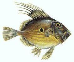 John Dory Fish Anatomy, Anatomy Drawing, Fish Sides, John Dory, Fish Face, Fish Drawings, Art Drawings, Marine Fish, Vintage Drawing