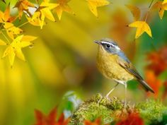 WallpapersWhite-browed Bush-Robin and yellow leaves