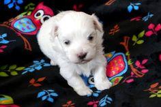 Adorable Paws / D-Wurf Malteser Welpe, 26.01.17, 3 Wochen alt, Züchter Daniela Krüger