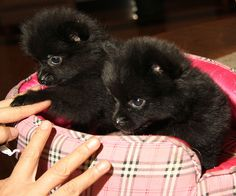small black pomeranian puppies My baby girl looked like this when she was a baby but she is a rare chocolate brown