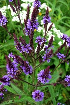 Blue Vervain Seeds, Organic - pagan wiccan witchcraft magick ritual supplies