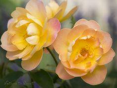Guten Tag, ich bin hier die neue Englische Rose.