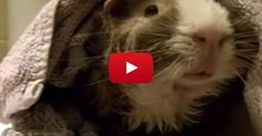 A Man Interviewed His Guinea Pig, And The Results Are HILARIOUS!! http://blog.petflow.com/a-man-interviewed-his-guinea-pig/?utm_source=fbrescueguinea&utm_medium=Facebook&utm_campaign=guinea