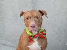 TO BE DESTROYED 12/08/16 **NEW HOPE ONLY** My name is MACCI. My Animal ID # is A1098306. I am a neutered male brown and white am pit bull ter mix. The shelter thinks I am about 3 YEARS old.  I came in the shelter as a STRAY on 11/30/2016 from NY 11208, owner surrender reason stated was OWN ARREST.