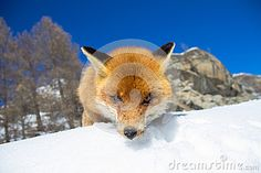Fox in Gran Paradiso national park