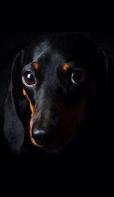 Dachshund Funny, Dachshund Puppies, Dachshund Love, Cute Puppies, Dogs And Puppies, Daschund, Black Dachshund, Dapple Dachshund, Chihuahua Dogs