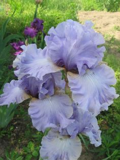 Iris WISHFUL THINKING