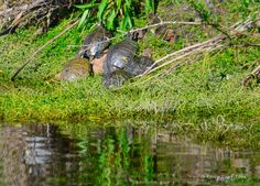 Some turtles park it on the bank and warm up in the sun. #TurtlePower