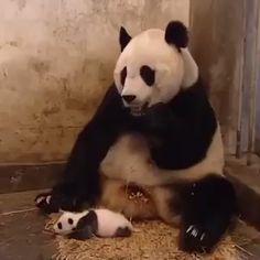 baby pandas Baby panda sneezes and scares mother Pandas Baby, Baby Panda Bears, Cute Little Animals, Cute Funny Animals, Cute Cats, Cute Animal Videos, Funny Animal Pictures, Photo Panda, Panda Funny