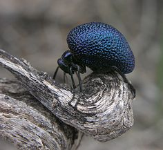 "Desert ""blue-ball"" blister beetle (Cysteodemus wislizeni, Meloidae) by artour_a Cool Insects, Bugs And Insects, Desert Insects, Cool Bugs, A Bug's Life, Paludarium, Beautiful Bugs, Inspiration Art, Chenille"