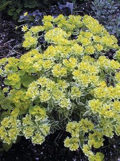 Euphorbia polychroma 'Lacy' - Spring blooming with yellow flowers that are combined with bright and clean foliage with variegated cream edges. Makes a huge show in the spring, but remain equally or more colorful all summer long. USDA Hardiness Zone 5-9