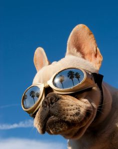 Cool shades! ♡♥♡   Pet Photography | Dog | Fun photo session Ideas | Props | Portraits | French Bulldog
