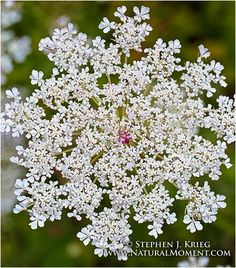"Queen Anne's Lace: Queen Anne's Lace (Wild Carrot) Blossom, Ohio  A common ""alien"" plant, the wild carrot provides a spectacular show in late summer in fields and meadows."