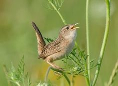 Sedge Wren (Cistothorus platensis) Southeast United States and Coast