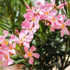 Oleander braucht die richtige Pflege. (Quelle: imago/Peter Widmann)