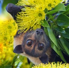 The Nicest Pictures: Spectacled flying fox bat