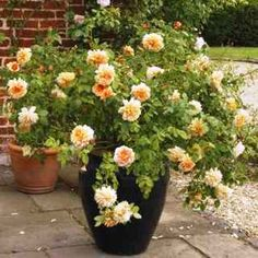 Roses in Pots