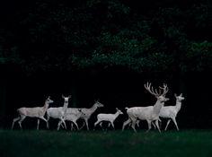 A herd of white deer, Eekholt Wildlife Park, Germany By: Frank Stöckel