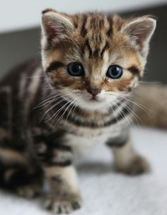 I could just die!! Bengal kitten! - Spoil your kitty at www.coolcattreehouse.com