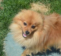Shoal is an adoptable Pomeranian searching for a forever family near Othello, WA. Use Petfinder to find adoptable pets in your area.