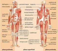 10 musculos del cuerpo humano y sus funciones