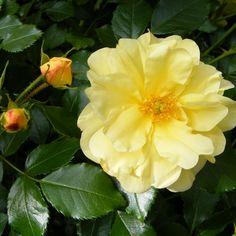 Rose jaune http://www.mesarbustes.fr/rosiers.html