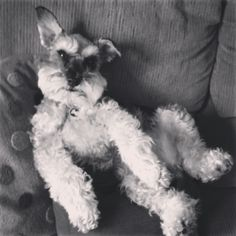 Schnauzer love Schnauzer Puppies, Giant Schnauzer, Miniature Schnauzer, I Love Dogs, Puppy Love, The Perfect Dog, Dog Things, Beautiful Dogs, Mans Best Friend