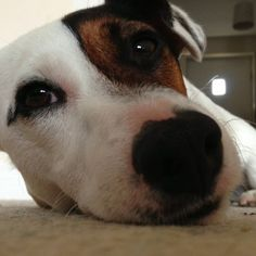 Dog - Jack Russell Terrier - Rex on www.yummypets.com
