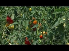 Paradicsom növényvédelmi technológia - YouTube Stuffed Peppers, Youtube, Vegetables, Stuffed Pepper, Vegetable Recipes, Youtubers, Stuffed Sweet Peppers, Youtube Movies, Veggies
