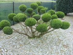 bonsai z tuji - Hledat Googlem
