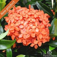Ixora 'Twilight Glow' Vibrant, compact, evergreen, drought tolerant shrub. Plant as a border or low hedge, anywhere where you won't miss this dwarf variety in full bloom. It's just beautiful. #flowering#hedge#orange