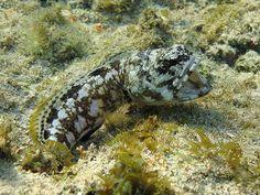 Banded jawfish, Roatan Island, Honduras