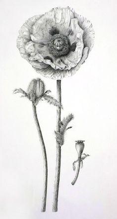 Oriental Poppy by Sue Vize (graphite)