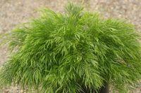 Acacia cognata 'Mini Cog' shrub  0.75m (H) x 1.8m (W)
