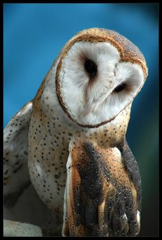 ~~Barn Owl by ~ladynightseduction~~