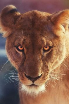 lioness // The Lavish Society Beautiful Cats, Animals Beautiful, Chat Lion, Lion Tigre, Animals And Pets, Cute Animals, Lioness Tattoo, Gato Grande, Lion And Lioness