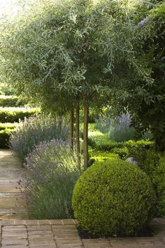lavender-drought-tolerant-garden-olive-trees-aurstralia-gardenista