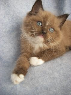 "Ragdoll Cat | Sepia Ragdoll Cats and Kittens Available in Virginia - I wish I could get one of these, but I live with a dog man that doesn't like cats. :( I would name it Frankie...for Frankie Valli's song ""Rag Doll"". So Cute!"