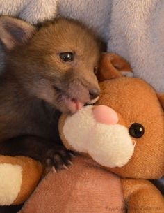 Puggle the baby fox and his best friend bunny #cute #fox #foxcub #animalrescue #adorable