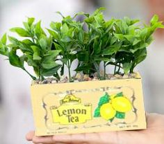 Teabox planter - great for windowsills or apartments with small herbs, cat grass, or small scale plants.