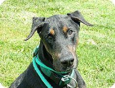 Westampton, NJ - Doberman Pinscher. Meet Ozzie D-58985, a dog for adoption. http://www.adoptapet.com/pet/10887711-westampton-new-jersey-doberman-pinscher