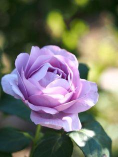 markunsan:rose