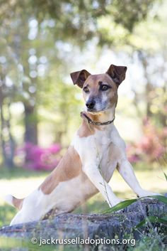 Georgia Jack Russell Rescue, Adoption and Sanctuary | Duffy #adoptable…