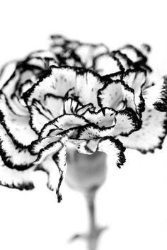 white carnation ./c black trim.
