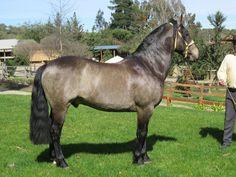 (2) Caballo Chileno Campolina, Painted Pony, Gaucho, Equinox, Horse Breeds, Donkeys, Thoroughbred, My Ride, Beautiful Horses