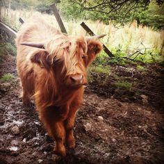 Scottish Highland Cow [xpost r/animalporn]